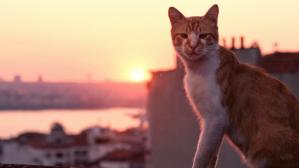 istanbulcats