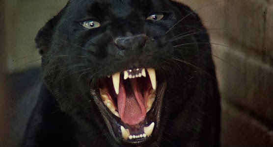 cat-people-panther