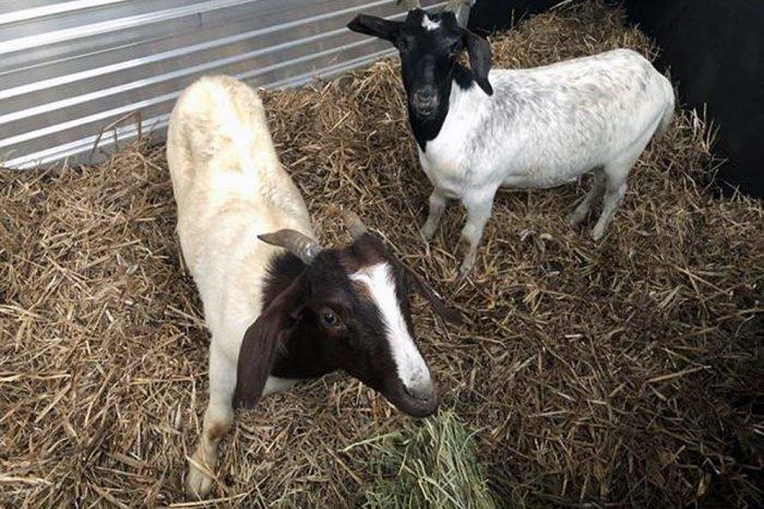 farm-sanctuary-goats