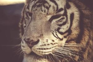 white, tiger